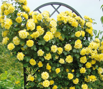 Climbing Roses for stunning colourful scented displays