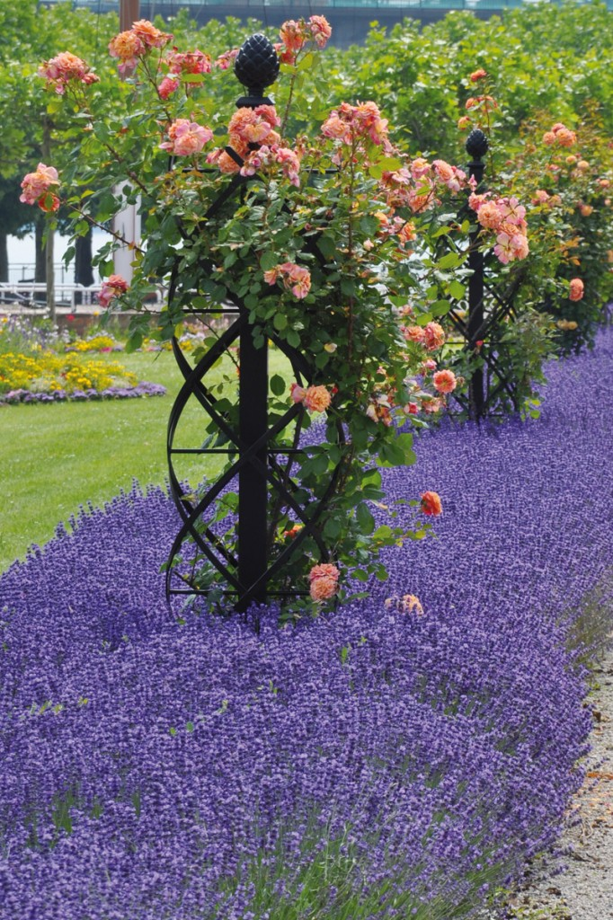 Classic Climbing Rose Supports For Vintage Rose Displays