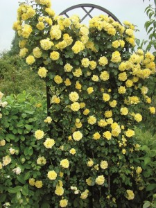 A classic support for a climbing rose - Rose Trellis Beekman