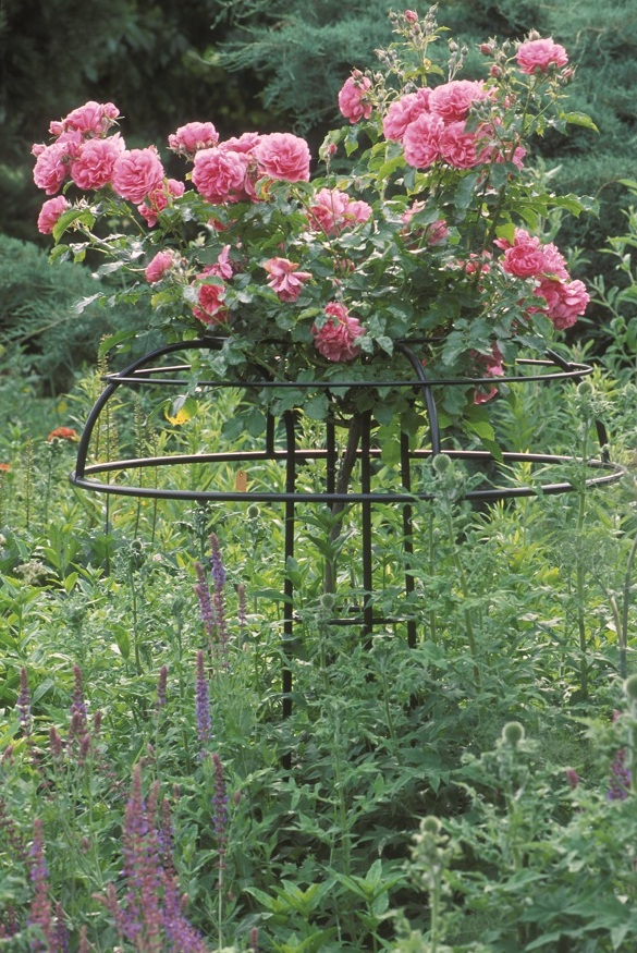 Rose Umbrella - weeping rose support